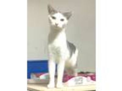 Adopt Alstair aka Domino a White (Mostly) American Shorthair (short coat) cat in