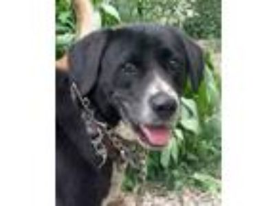 Adopt Hero a Labrador Retriever, Border Collie
