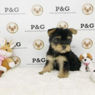 Yorkshire Terrier PUPPY FOR SALE ADN-73841 - Yorkshire Terrier  Esther  Female