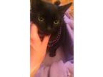 Adopt Kitten a Black (Mostly) Domestic Shorthair / Mixed (short coat) cat in