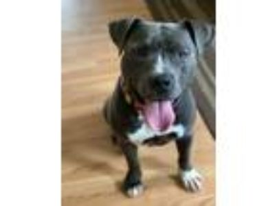 Adopt Odie a Gray/Blue/Silver/Salt & Pepper American Pit Bull Terrier / Mixed