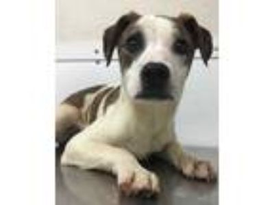 Adopt 41733113 a White Terrier (Unknown Type, Small) / Mixed dog in Bryan