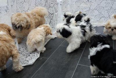 Elated Shih Tzu Puppies
