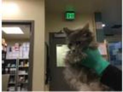 Adopt Concha a Domestic Medium Hair, Domestic Short Hair