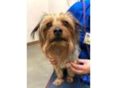 Adopt Coni a Yorkshire Terrier