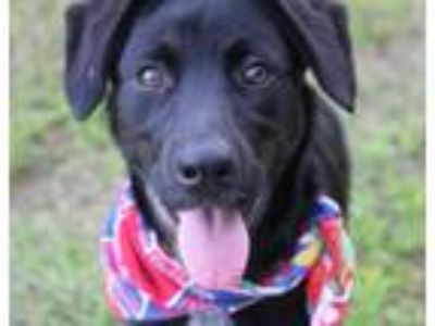 Adopt Truffles a Black - with White Labrador Retriever / Mixed dog in Oxford