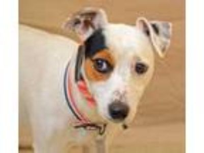 Adopt Buster a White Jack Russell Terrier / Mixed dog in Hamilton, OH (25875891)