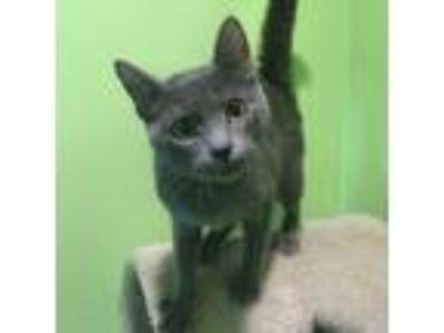 Adopt Honey a Gray or Blue Domestic Shorthair / Domestic Shorthair / Mixed cat