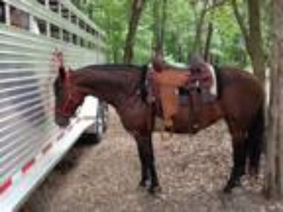 Bay mare 11 years old