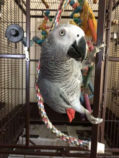 Congo African Grey Ready!!!!