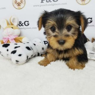 YORKSHIRE TERRIER - DIANA - FEMALE