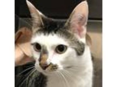 Adopt Luther @ Biddeford Petsmart a Brown or Chocolate Domestic Shorthair /