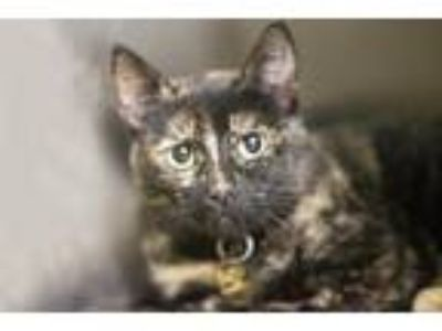 Adopt Sapphire (Snickers) a Domestic Mediumhair / Mixed cat in Mountain Home