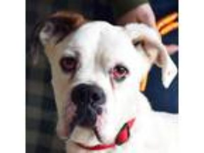 Adopt Mac a White - with Black Boxer / Mixed dog in Huntley, IL (20671676)