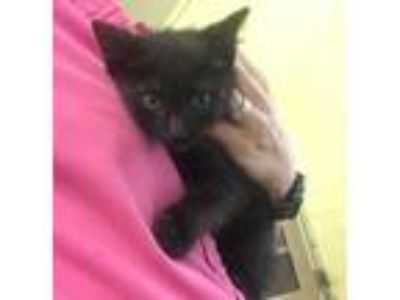 Adopt *KNIGHT a All Black Domestic Shorthair / Mixed (short coat) cat in