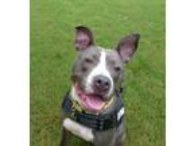 Adopt Mims a Pit Bull Terrier, Mixed Breed
