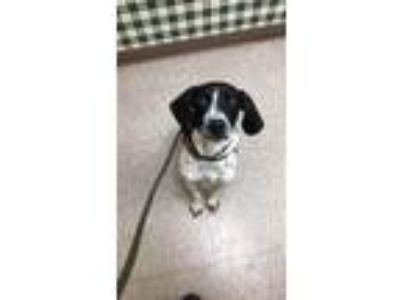 Adopt Sadie Mae a German Shorthaired Pointer