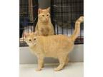 Adopt Sundance and Stardance (bonded sisters) a Tabby
