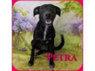 Adopt Petra a Black - with White Border Collie / Mixed Breed (Medium) / Mixed