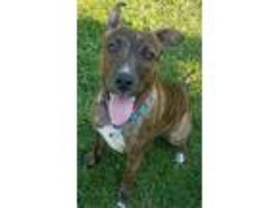 Adopt Izzie a Pit Bull Terrier
