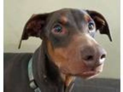 Adopt Beck a Red/Golden/Orange/Chestnut Doberman Pinscher / Mixed dog in Las