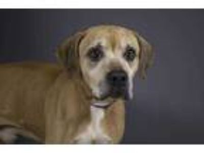 Adopt CHESTER a Tan/Yellow/Fawn Boxer / Mixed dog in West Palm Beach
