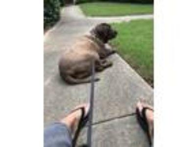 Adopt Rocsi a Brown/Chocolate Labrador Retriever / Basset Hound / Mixed dog in