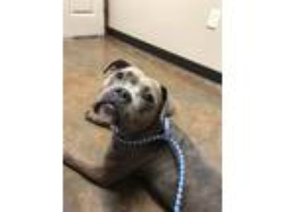Adopt Hera a Brindle American Staffordshire Terrier / Mixed dog in Junction