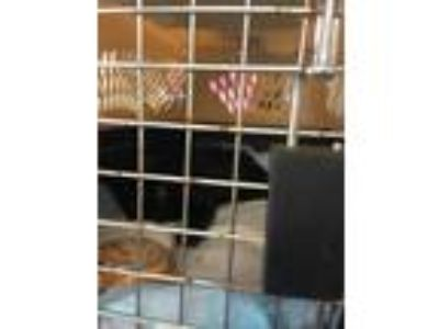 Adopt bobby a All Black Domestic Shorthair / Domestic Shorthair / Mixed cat in