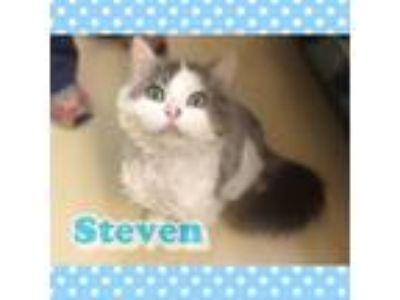 Adopt Steven a White Domestic Longhair / Domestic Shorthair / Mixed cat in