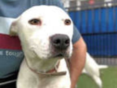 Adopt TREVOR a Black American Pit Bull Terrier / Mixed dog in Waco
