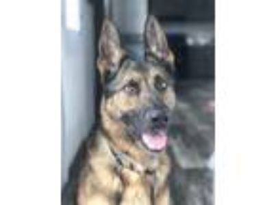 Adopt Zeus a German Shepherd Dog