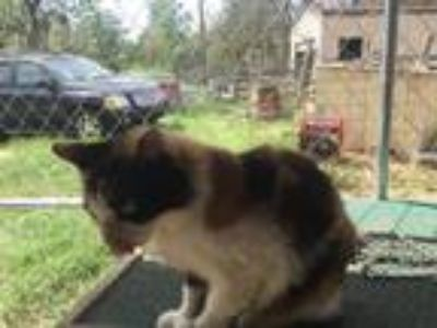Adopt Muffin a Calico or Dilute Calico Domestic Shorthair / Mixed (short coat)