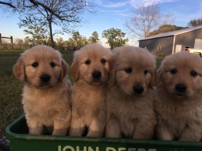 Golden Retriever Puppies AKC