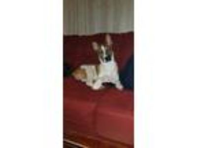 Adopt Monkey a White - with Brown or Chocolate Boxer / Husky / Mixed dog in