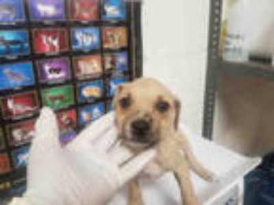 Adopt DOLLY a Brown/Chocolate - with White American Pit Bull Terrier / Mixed dog