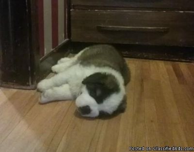 Purebred Saint Bernard puppies for sale.