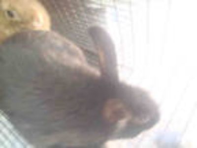 Adopt a Black Other/Unknown / Mixed rabbit in Tucson, AZ (25347291)