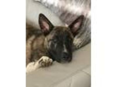 Adopt Granite a Brown/Chocolate - with Black German Shepherd Dog / Mixed dog in