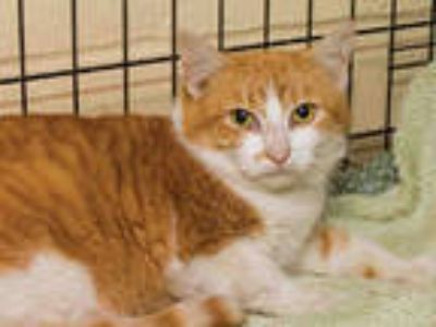 Adopt MACAW a Orange or Red (Mostly) Domestic Shorthair / Mixed (short coat) cat