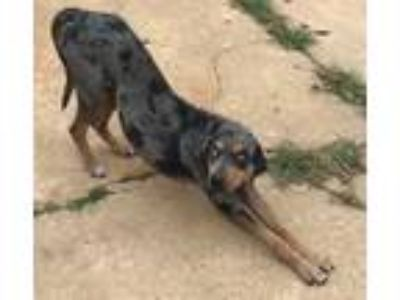 Adopt Hank a Bluetick Coonhound, Catahoula Leopard Dog