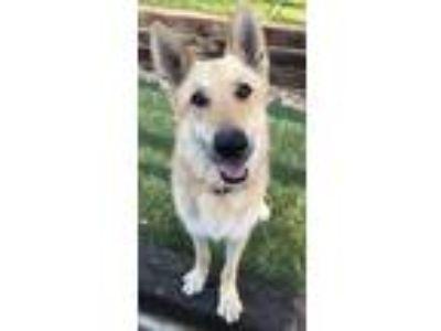 Adopt Libby a German Shepherd Dog