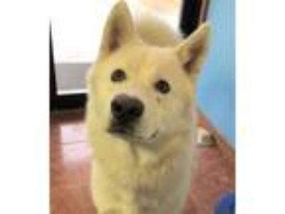 Adopt Ghost a Siberian Husky, German Shepherd Dog
