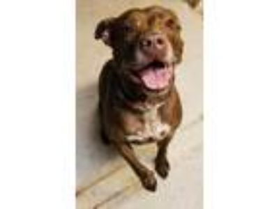 Adopt Shelby Mustang a Brown/Chocolate Doberman Pinscher / Labrador Retriever /