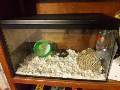 Rehome Dwarf Hamster