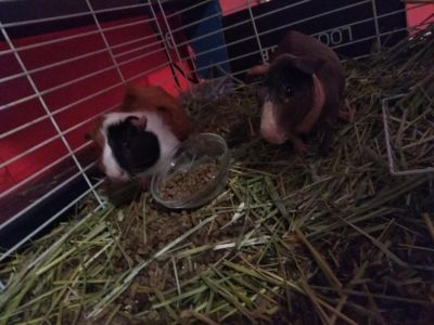 Two guinea pigs (one hairless)