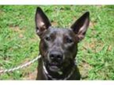 Adopt Scarlett a Black Labrador Retriever / Mixed dog in Columbus, NC (25646739)
