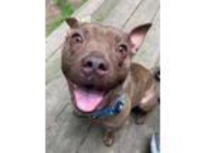 Adopt Little Red a Pit Bull Terrier