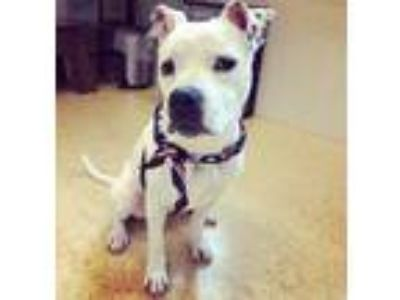 Adopt Marshmallow a White American Pit Bull Terrier / Boxer / Mixed dog in Cedar