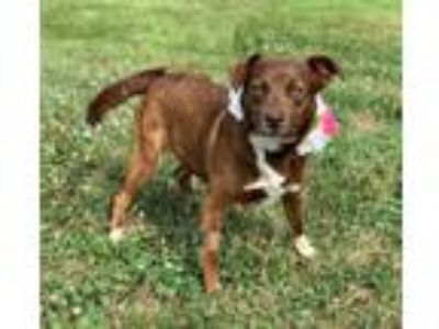 Adopt Kayla a Australian Cattle Dog / Blue Heeler, Beagle